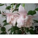 Фуксия Fuchsia