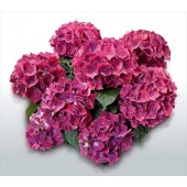 Гортензия Hydrangea HOT RED LILA