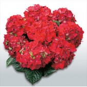 Гортензия Hydrangea HOT RED