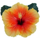 Гибискус Hibiscus Apollo