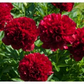 Пион Paeonia Red Grace