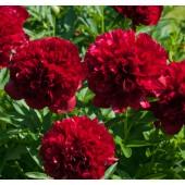 Пион Paeonia Red Grace
