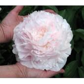 Пион Paeonia Myrtle Gentry