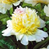 Пион Paeonia Top Brass