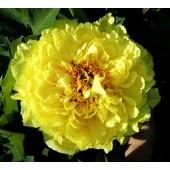 Paeonia Itoh Yellow Crown