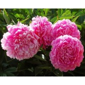 Пион Paeonia Princess Margaret