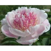 Пион Paeonia Do Tell
