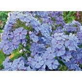 Флокс Phlox Blue Boy