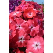 Флокс Phlox Watermelon Punch
