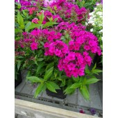 Флокс Phlox Early Cerise
