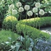 Аллиум Allium White Giant