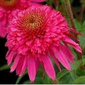 Эхинацея Echinacea Secret Affair
