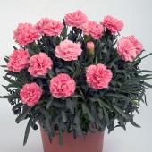 Гвоздика Dianthus Dinamic Pink