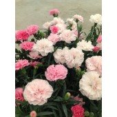 Гвоздика Dianthus Pink to White
