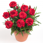 Гвоздика Dianthus Dinamic Red