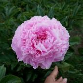 Пион Paeonia Pink Giant