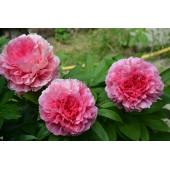 Пион Paeonia Rose Heart