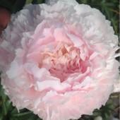 Пион Paeonia Chiffon Parfait
