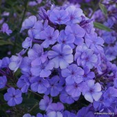 Флокс Phlox Sweet Summer Ocean