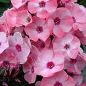 Флокс Phlox Sweet Summer Queen