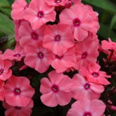 Флокс Phlox Sweet Summer Dream