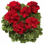 Пеларгония Pelargonium Calliope Dark Red