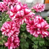 Пеларгония ампельная Pelargonium peltatum Ivy Arctic Rose
