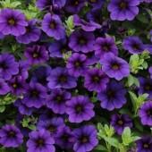 Калибрахоа Calita Dark Blue