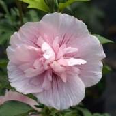 Гибискус сирийский Pink Chiffon