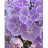 Флокс Phlox Miss Kelly