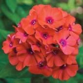 Флокс Phlox Flame Coral