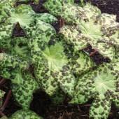 Подофиллум Podophyllum Spotty Dotty