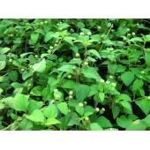 Липпия (складкая трава)