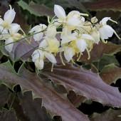 Епимедиум Epimedium Spiny Leaved Form