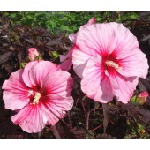 Гибискус Hibiscus Corousel Pink Candy