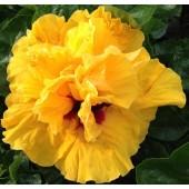 Гибискус Hibiscus Laluna Yellow