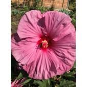 Гибискус Hibiscus Berrylicious