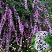 Буддлея очереднолистная Buddleja alternifolia