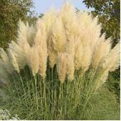 Кортадерия Cortaderia White Feather
