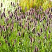 Пеннисетум Pennisetum Red Bunny Tails