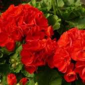 Пеларгония Pelargonium Calliope Scarlet Red