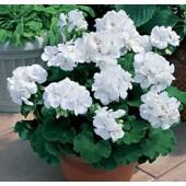 Пеларгония ампельная Pelargonium peltatum Ivy White