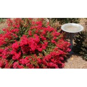 Лагерстроэмия Lagerstroemia Red Filli