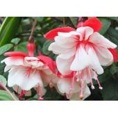 Фуксия (Fuchsia) Swingtime