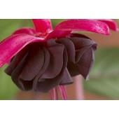 Фуксия (Fuchsia) Blacky