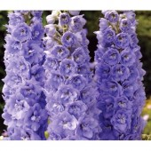 Дельфиниум Delphinium Magic Fountains Lavender