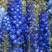 Дельфиниум Delphinium Pacific Blue Bird