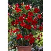 Диплодения Sundaville Red