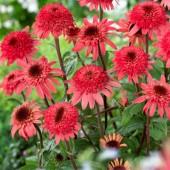 Эхинацея Echinacea Raspberry Truffle