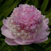 Пион Paeonia Angel Cheeks